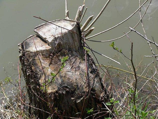 Škody způsobené bobrem v Hustopečích