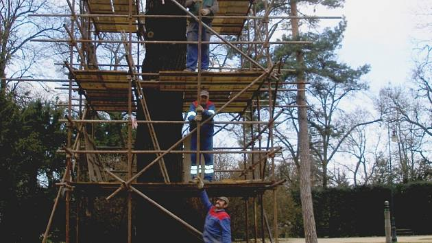 Studenti řezbářské školy budou kmen dubu v Michalově vyřezávat měsíc.