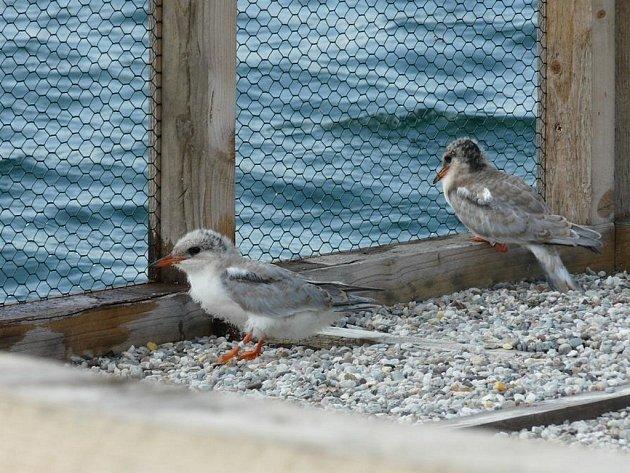 Na čtyřech plovoucích ostrůvcích vyvedly čtyři páry hnízdících rybáků obecných devět mláďat.