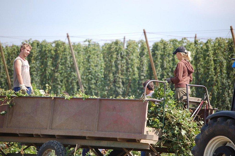 Zemědělci společně s mladými brigádníky v úterý 18. srpna sklízeli chmel na kokorských chmelnicích.