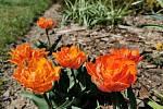 Plnokvěté tulipány.