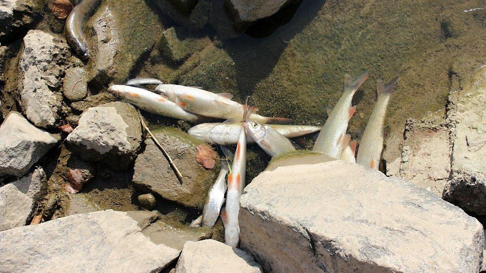 Masivní úhyn ryb na Bečvě, září 2020