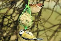 Zima Rybáře u Hranic ve čtvrtek 21. ledna 2021 - vrabec polní a sýkorka modřinka na krmítku.
