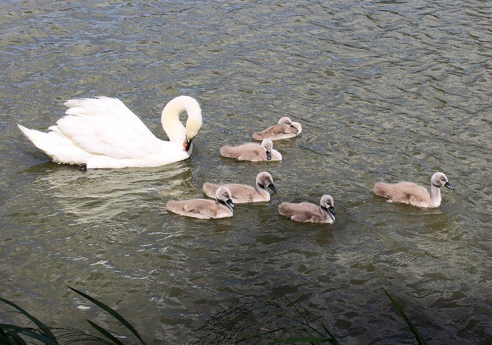 Labutí rodinka na hranickém rybníku Kuchyňka.