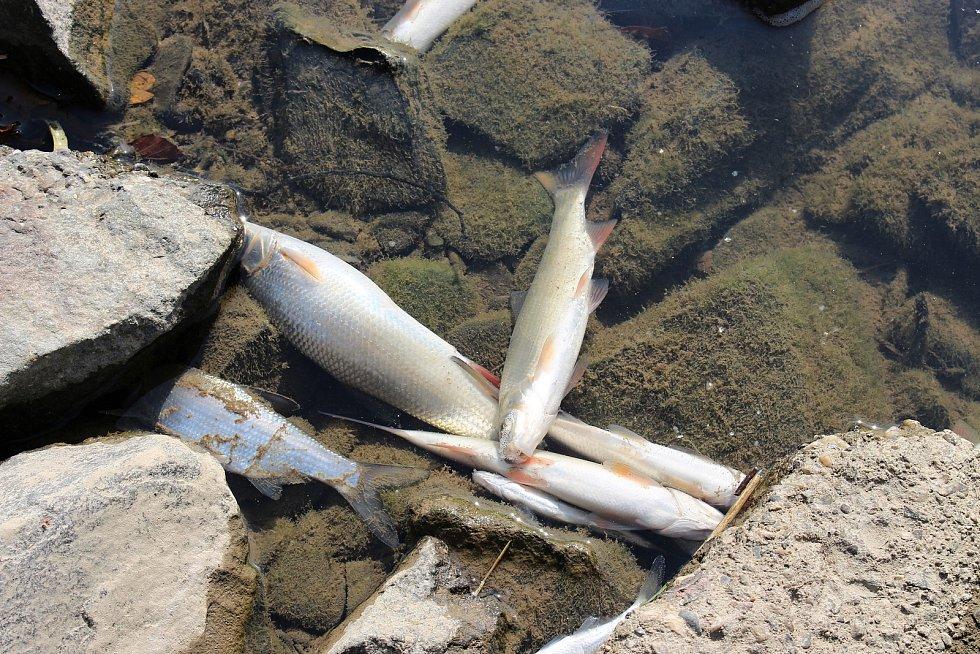 Úhynulé ryby v řece Bečvě u Hranic, 21. září 2020