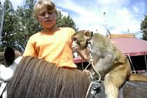 Jednou z atrakcí, které jsou v manéži cirkusu Berousek k vidění, jsou cvičené opice jezdící na koních.