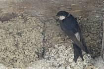 Vlaštovčí hnízda pod krovem domu paní Tomečkové v Drahotuších