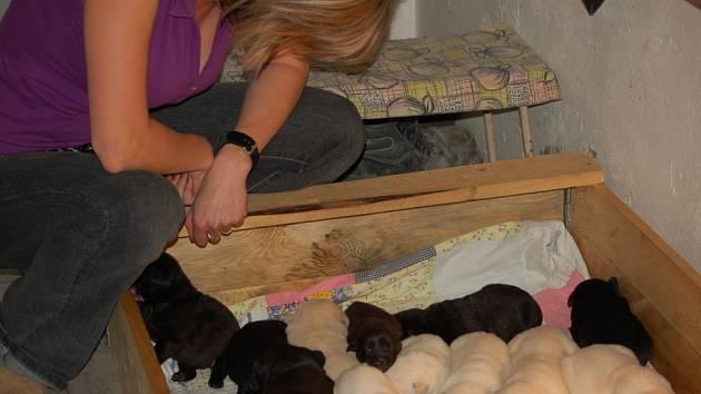 Šest bílých a šest černých štěňat přivedla na svět labradorka Bony.