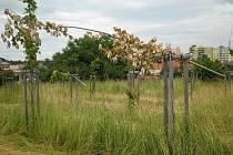 Na prostranství před CTParkem v Hranicích neznámý vandal posekal několik mladých stromků
