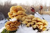 Letošní zimu si houbaři pochvalují. Hub je v lesích dostatek.