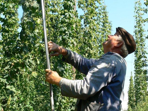 emědělcům z Prosenic shodila vichřice minulý týden na rozlehlé ploše chmelové révy, které teď brigádníci navěšují zpět na konstrukci.