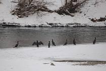 Kormoráni se ze zamrzlých rybníků přemístili k jezům na řeku Bečvu. V těchto dnech lze tyto dravé ptáky spatřit například v blízkosti areálu přerovské chemičky (na snímku).