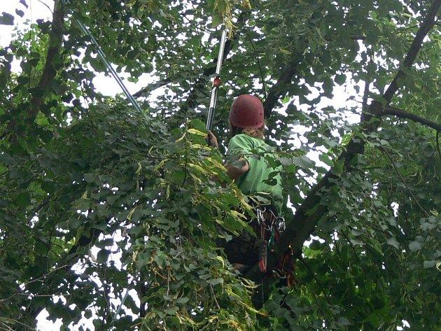 Zásah arboristů v korunách hranických stromů
