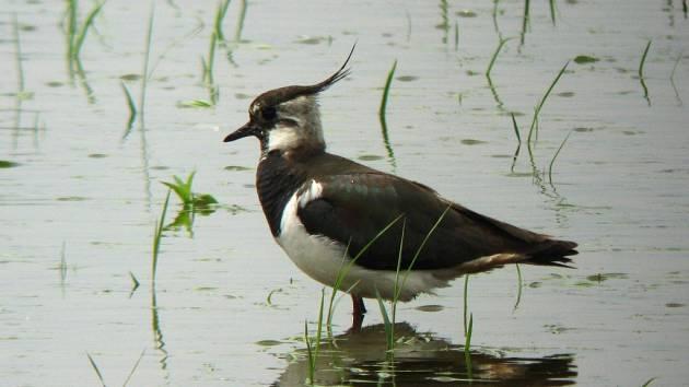 Přerovští ornitologové v těchto dnech zaznamenali první přílet jarních druhů ptáků. Mezi nimi jsou i čejky chocholaté (na snímku).