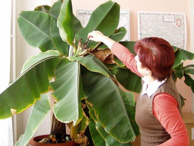 První sklizeň banánů.