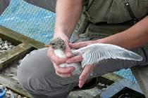 Ornitologové kroužkovali mláďata rybáků obecných.