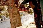 Vánoční strom přivezli na hranické náměstí