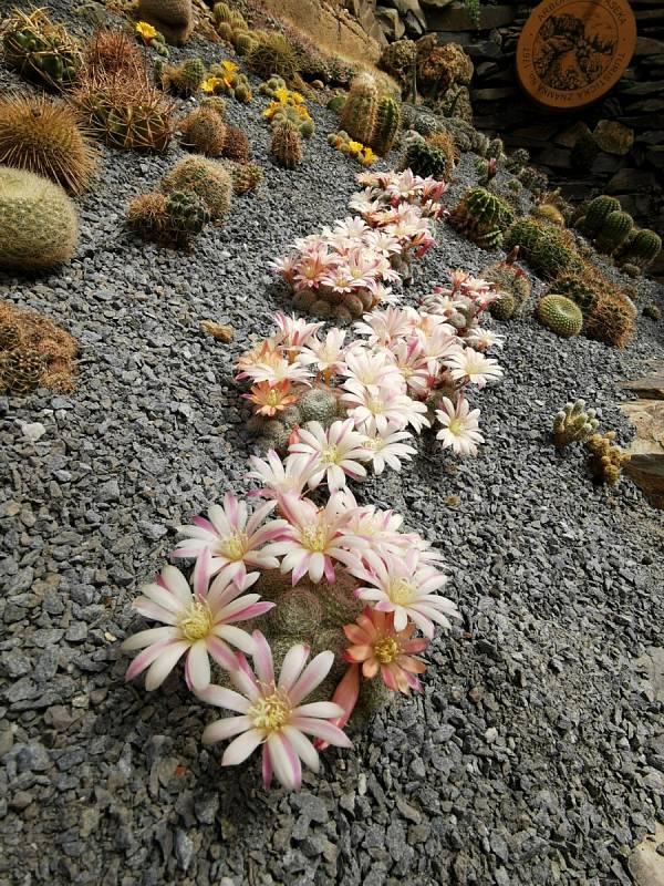 Kaktusová krása pod střechou
