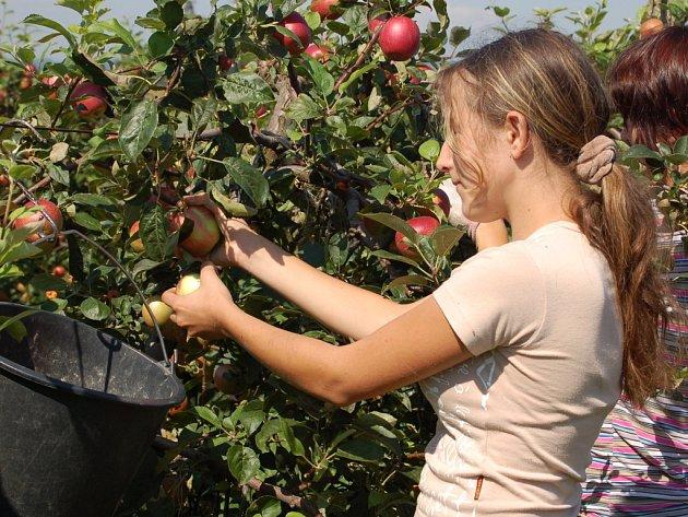 Sklizeň jablek je v plném proudu.
