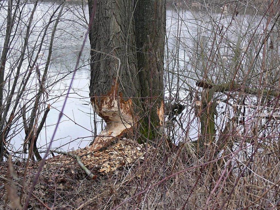 V Hranicích se usídlili bobři. Zatím o sobě dávají vědět především díky pokáceným stromům, rybáři se ale obávají, že by mohli způsobit i větší škody