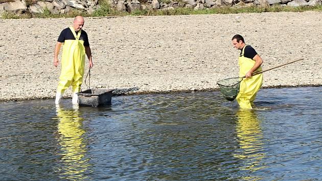 Jed v Bečvě zahubily tuny ryb. Úklid následků masivního úhynu v Hranicích v pondělí 21. září 2020