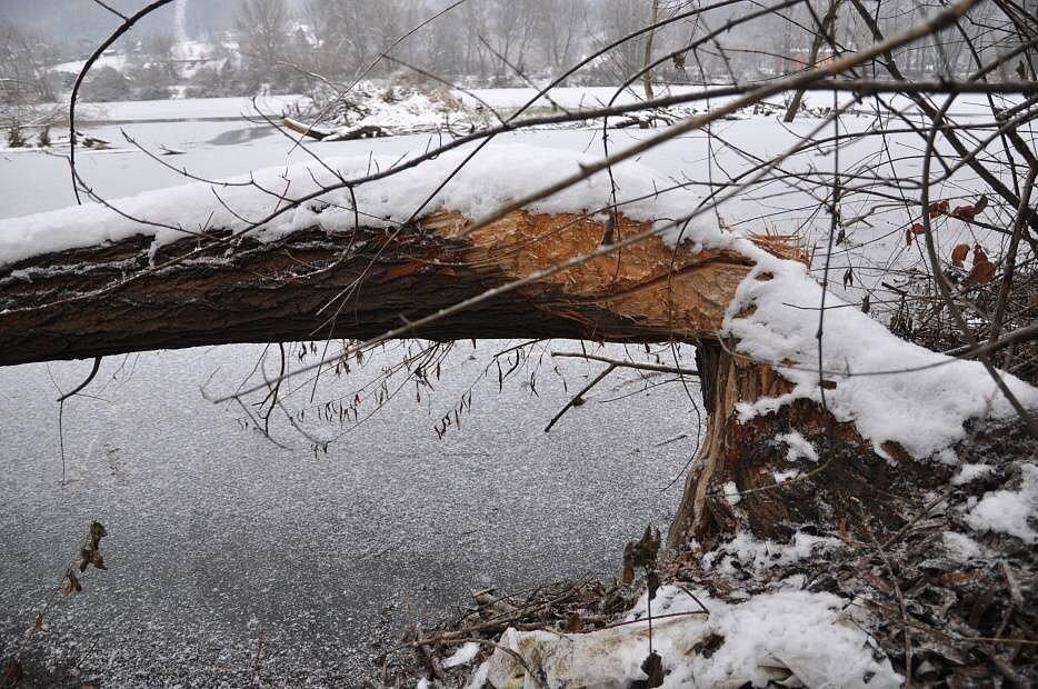 Chránění bobři se opět zabydleli na hranickém pískáči. Přidělávají práci městu i rybářům