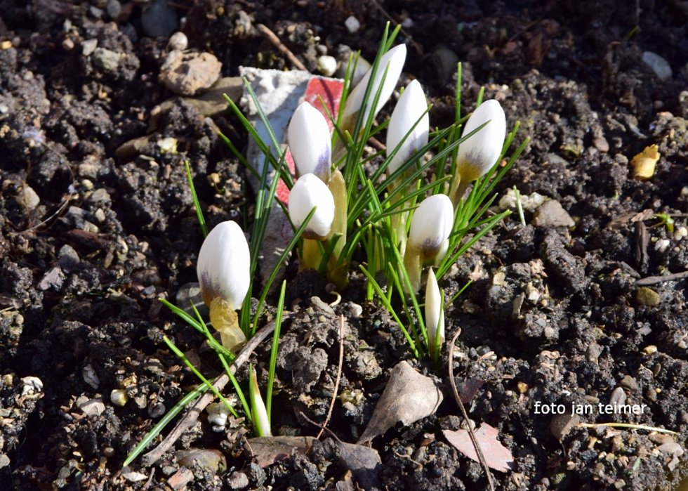 První jarní květy v Brodku u Přerova, březen 2021.