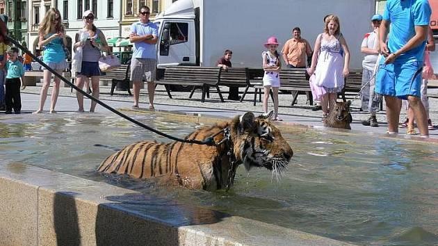 Koupání tygra na hranickém náměstí
