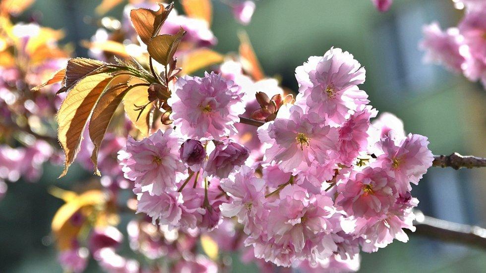 Rozkvetlé sakury na třídě 1. máje v Hranicích.