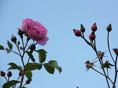 Kvetoucí růže i plody šípku na jednom keři.