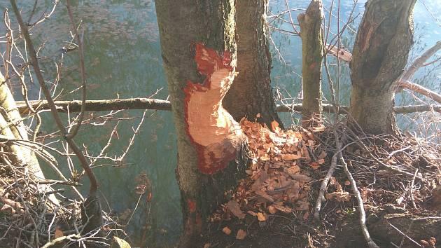 Bobři způsobili škody v okolí řeky Olšavy v Šumicích v březnu 2018.