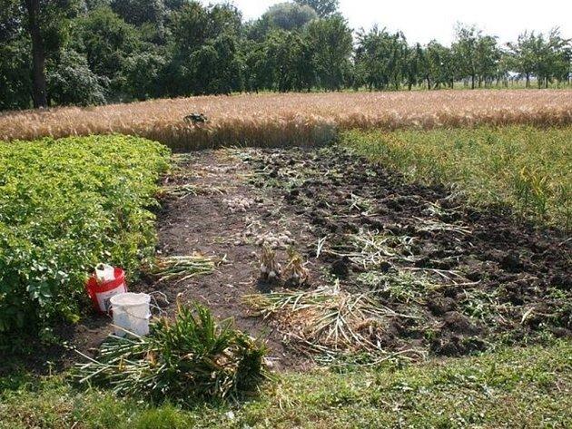 Zloději česnek na poli i očistili.