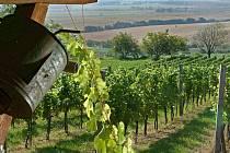 Na Slovácku se letos hroznům extrémně dařilo, víno prý bude výjimečné.