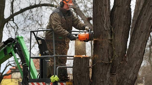 Velké kácení stromů začalo v Uherskohradišskom parku u kina Hvězda v pátek 16. prosince.