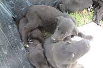 Sedm kříženců labradora našlo dočasný domov v kotci babického obecního úřadu. V současné době čeká na svého nového majitele už jen poslední psík.
