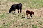 V hektarové obůrce na Modré přišlo na svět druhé pratuří mládě.