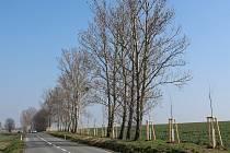 Padesát sedm nově zasazených lip v letošní předjaří krášlí krajinu u Boršic.
