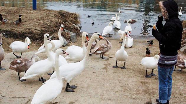 Labutě a další ptáky chodí k Moravě krmit spousta obyvatel Uherského Hradiště a Starého Města