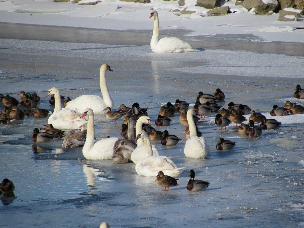 Labutě a kačeny se na Moravě seskupily okolo nezamrzlých jezírek.