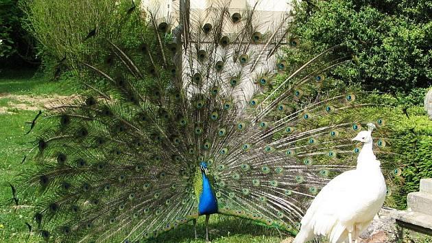 Živá ozdoba buchlovické zámecké zahrady.