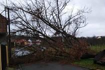 Stoletou lípu v Pašovicích srazil k zemi vichr 27. prosince 2020.