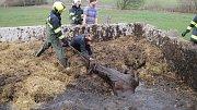 Drama se šťastným koncem v podobě záchranné akce hasičů vyprošťujících koně uvízlého v septiku, se událo v neděli 11. listopadu dopoledne v Uherském Brodě.