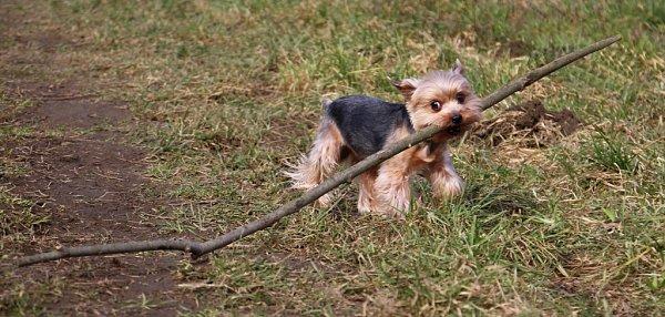 6. MIKI.  Jsem nosič velkých větví.