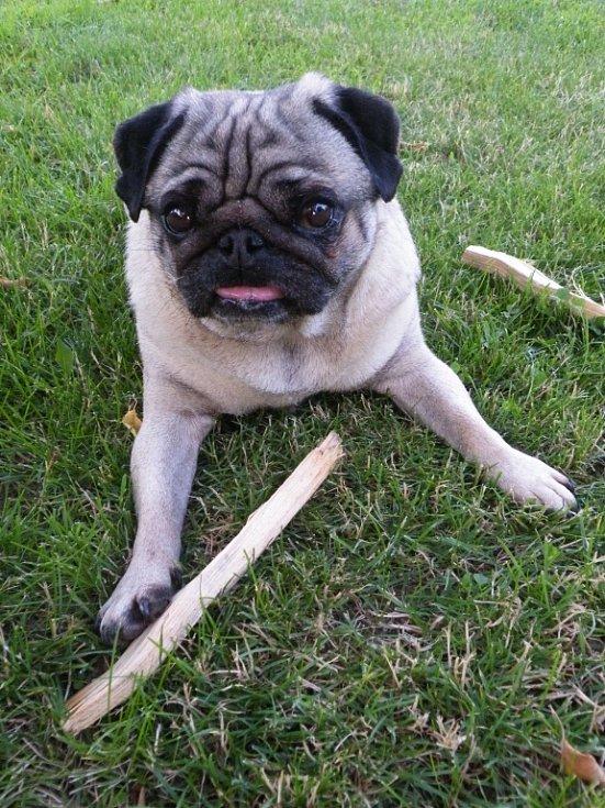 GUSTAV. Ahoj, jmenuji se Gustav, letos mi bude šest a na fotce jsem byl právě nachytán, jak páníčkovi kradu dřevo na grilování.