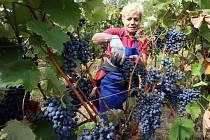 Vinobraní v rodinném vinařství Vaďura v Polešovicích. Viniční trať Nové hory, odrůda vína dornfelder.