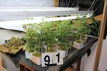 Téměř tři stovky čerstvě pěstovaných rostlin a tři kilogramy sušené marihuany zajistili mimo jiné kriminalisté při pěti domovních prohlídkách v obcích na okrese Zlín a Uherské Hradiště.