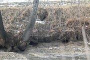 Tomáš Janás ukazuje škodu, kterou bobři způsobili.