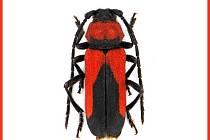 Nově popsaný druh brouka – tesaříka, nese jméno po Janu Amosu Komenském. Na snímku samička.