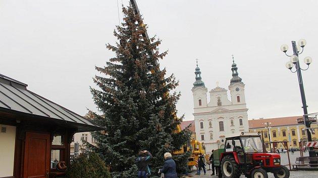 V Uherském Hradišti vztyčili vánoční strom.