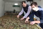 Ze tří metráků hroznů odrůdy Rulandské bílé vzniká v těchto dnech slámové víno v rodinném vinařství Petra Gottwalda Dvůr Pod Starýma horama v Boršicích.